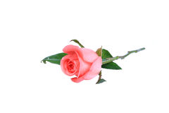Pink rose. Isolate on the white background Stock Images