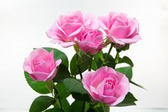 Pink rose. This is a picture of pink roses on the back white Royalty Free Stock Image