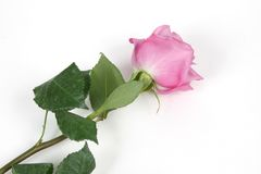 Pink rose. Single pink rose isolated on white background Stock Photography