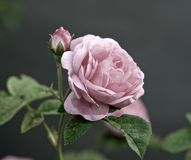 Pink rose. Exudes a subtle, heady aroma. Its delicate petals seem to be transparent Royalty Free Stock Photo