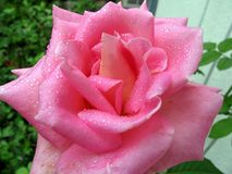 Pink rose. This is a closeup of a pink rose with water drops on it Stock Photography