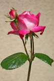 Pink rose. On texture background Stock Image