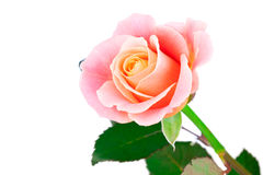 Free Pink Rose Stock Photography - 32826442