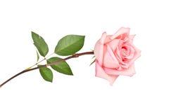 Free Pink Rose Stock Image - 39316251