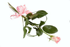Pink Rose. On white background Stock Photography