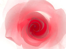 Pink rose. Close up of a pink rose isolated on white Royalty Free Stock Photos