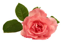 Pink Rose. Isolated on White Stock Photography
