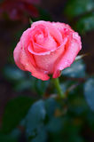 Pink rose. This is a pink rose royalty free stock photography