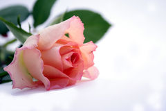 Pink rose. Single pink rose isolated on white Stock Photography