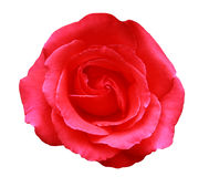 Pink Rose. Single red pink rose, isolated on white Stock Images