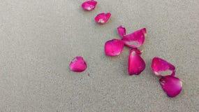 pink rose Royaltyfria Foton