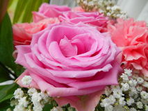 pink rose Royaltyfri Foto