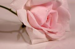 pink rose Royaltyfri Fotografi