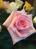 Pink rose. From a Stock Photo