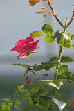 Pink rose. Beautiful pink rose on a branch Stock Image