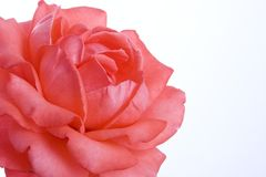Pink rose. Close-up of pink rose isolated on white background with clipping path Stock Photography