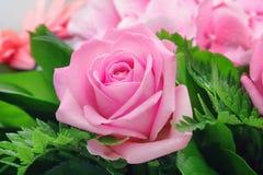 Pink rose Stock Image
