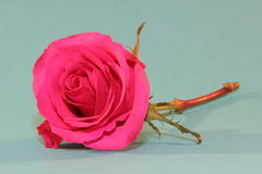 Pink Rose. Isolated Royalty Free Stock Photo