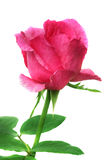 Pink rose. Pink rose isolated on white background Stock Photo