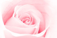 Pink rose. (abstract photo background Royalty Free Stock Photos