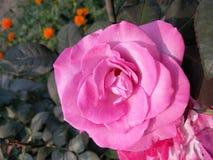 pink rose Royaltyfri Foto