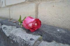 Free Pink Rose Stock Photos - 68518363