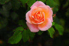 Pink rose. Picture of a rose taken in the botanic gardens in Decin, Czech Republic Royalty Free Stock Photos