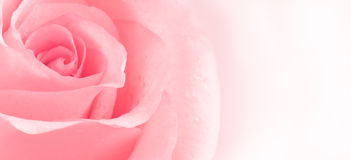 Pink rose. Background abstract photo Royalty Free Stock Image