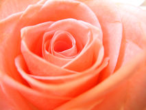 Pink Rose. Close-up of the center of a pink rose stock images