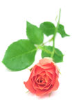 Pink rose. Pink rose isolated on white background Royalty Free Stock Photos