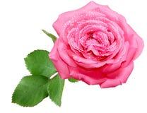 Pink Rose Stock Photo