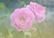pink rose Royaltyfria Bilder