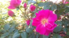 pink rose Fotografering för Bildbyråer