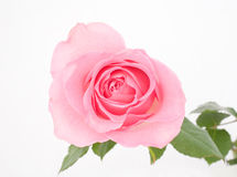 Free Pink Rose Stock Image - 7614811