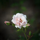 pink rose Royaltyfri Bild
