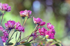pink rose Arkivfoto