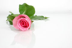 Pink rose. Isolate pink rose stock images