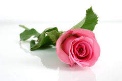 Pink rose. Isolate pink rose Royalty Free Stock Photography