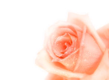 Pink rose. Soft focus picture of a beautiful rose Stock Photography