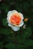 Pink rose 8212. Pink rose with blurred garden background, vertical frame Royalty Free Stock Image