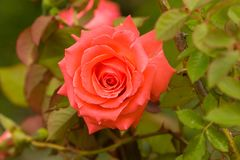 Pink rose. A pink rose Royalty Free Stock Images