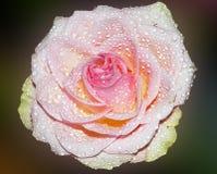 pink rose Royaltyfria Bilder