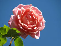 Pink rose. Single pink rose blossom on blue sky background Stock Photos