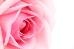 Pink rose. Macro close up Royalty Free Stock Photography
