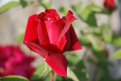 pink rose arkivbild