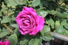 pink rose Arkivfoton