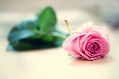 Pink rose. Beautiful pink rose on the floor Royalty Free Stock Photos
