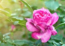 pink rose Royaltyfri Bild