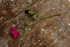Pink rose abandoned on wooden floor Stock Image