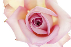 Pink Rose from Above Royalty Free Stock Image